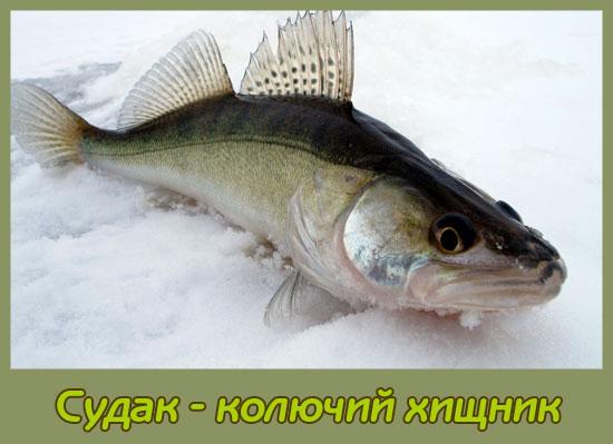 судак рыба фото