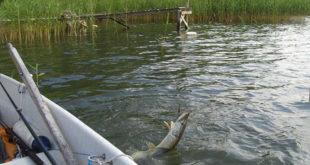 Ловля на дорожку. Советы рыболову